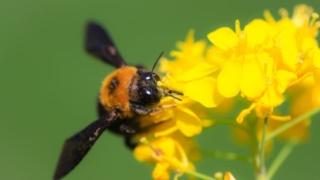 花にたかるクマバチの画像