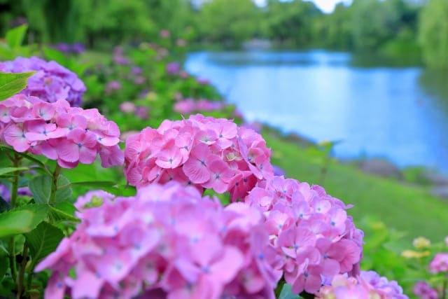 赤色の紫陽花