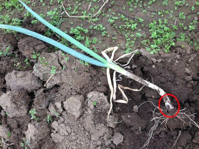 長ネギの成長点の画像