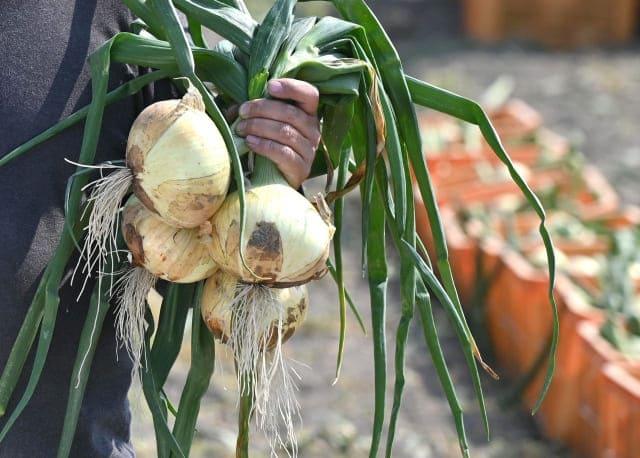 玉ねぎの葉と根