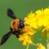 クマバチのオスとメスの見分け方 針で刺すの?毒はあるの?