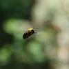 クマバチのホバリングはオスだけの行動 実は威嚇ではなかった!