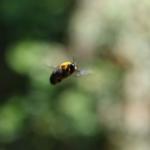 クマバチのホバリングの画像