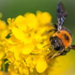 クマバチの画像